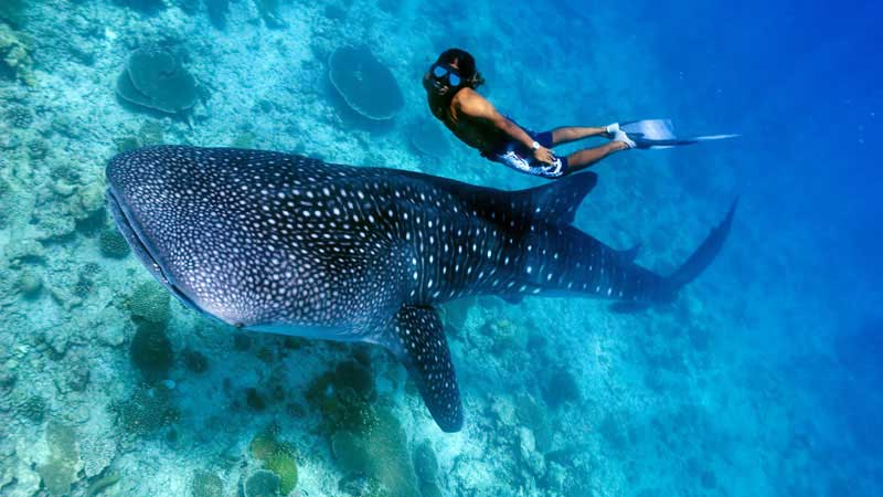 Cebu oslob whale shark