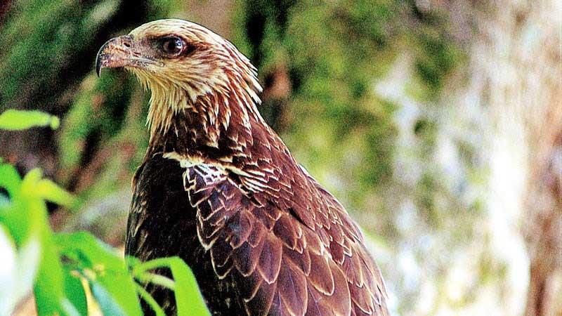davao_eagle